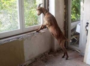Τί γυρεύει ένας τράγος σε … διαμέρισμα