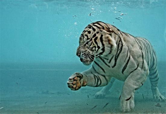 Λευκή τίγρη
