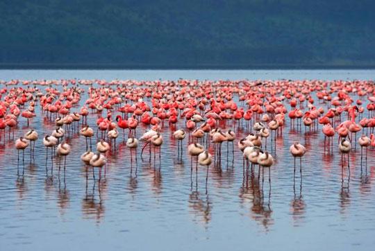 Φλαμίνκο στη λίμνη Nakuru
