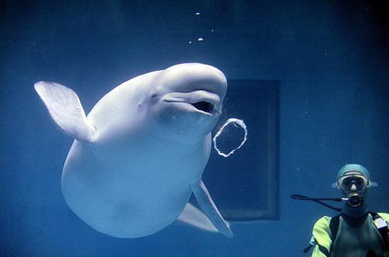Perierga.gr   Φάλαινες Beluga. Άλλα κόλπα...