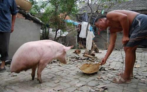 Γουρούνι με δύο πόδια γίνεται τουριστική ατραξιόν!