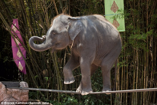 Ελέφαντες ισορροπούν σε σχοινιά