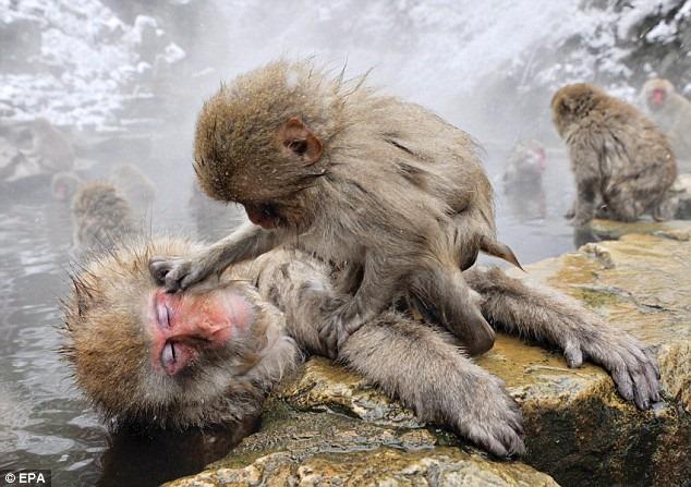 Perierga.gr - Οι μαϊμούδες του χιονιού