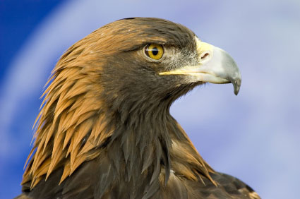 Perierga.gr - Αετός κυνηγάει αγριοκάτσικα