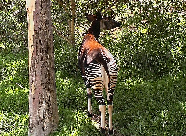 Perierga.gr - Okapi