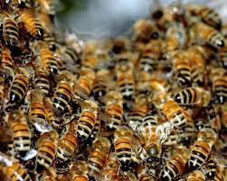 Perierga.gr - Επίθεση μελισσών
