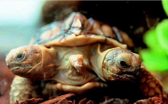 Perierga.gr - Δικέφαλη χελώνα