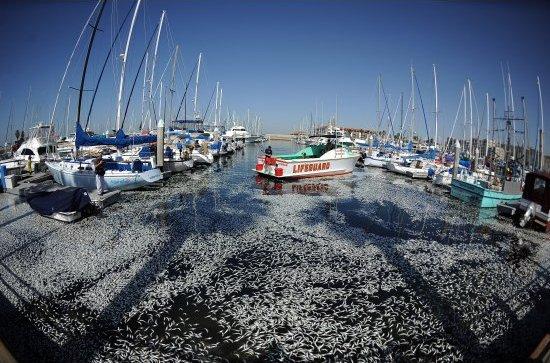 Perierga.gr - Νεκρά ψάρια κάλυψαν τη θάλασσα