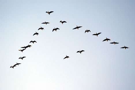 Perierga.gr - Πουλιά σε σχηματισμό V