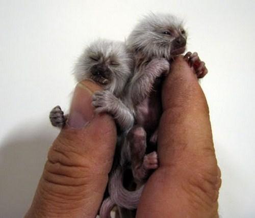 Perierga.gr  Μαϊμούδες του δαχτύλου!