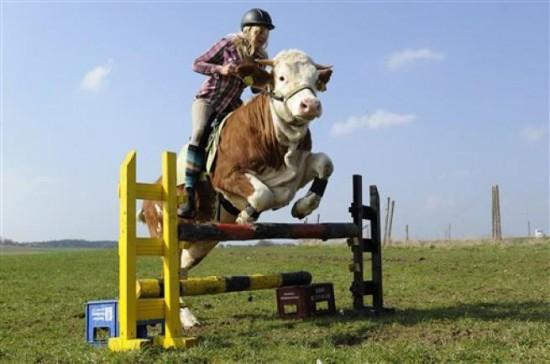 Perierga.gr - Αγελάδα άλογο