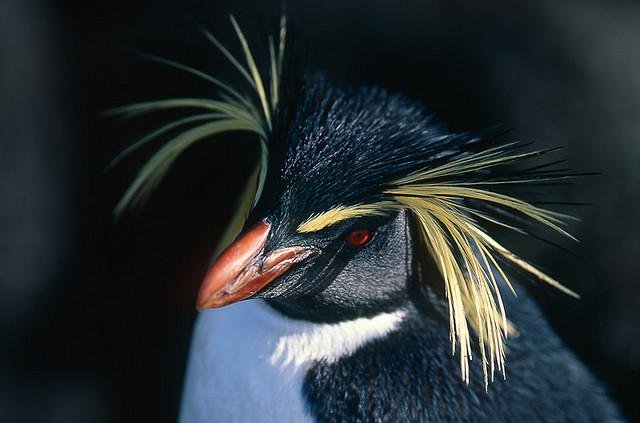 Perierga.gr - Πιγκουίνοι με τσουλούφι!