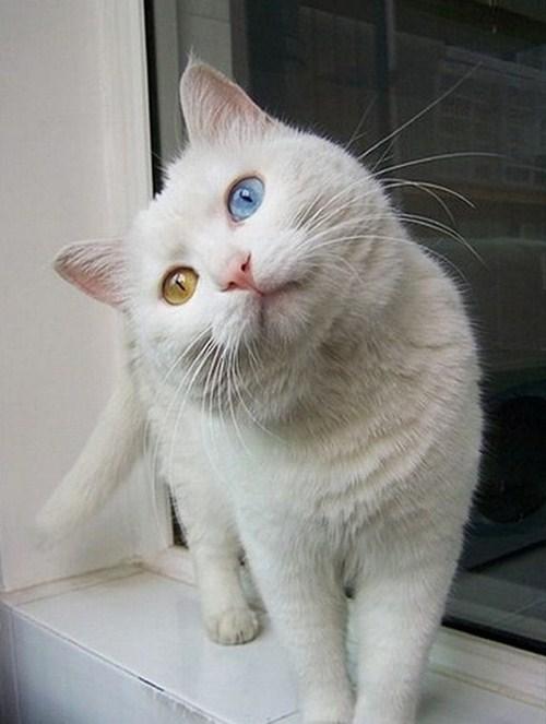 Perierga.gr - Η γάτα με τα πιο περίεργα μάτια
