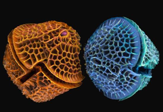Perierga.gr -  Διάτομα στο μικροσκόπιο