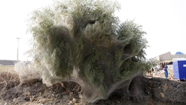 Perierga.gr - Αραχνοΰφαντα… δέντρα
