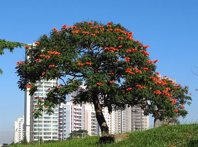Perierga.gr - Το αφρικανικό δέντρο με τις τουλίπες