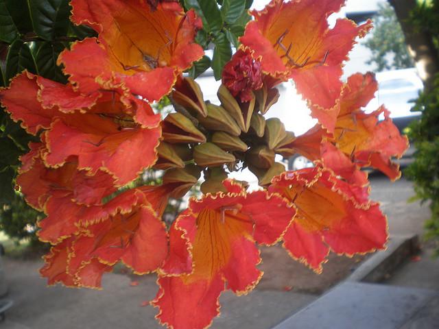 Το αφρικανικό δέντρο με τις τουλίπες