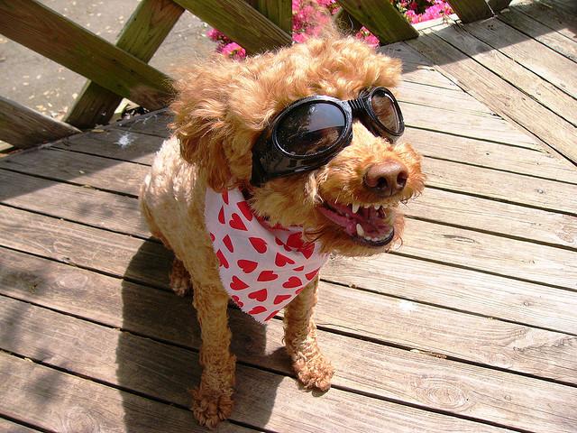Perierga.gr - Γυαλιά ηλίου για σκύλους!