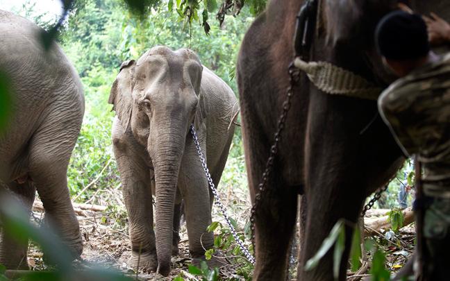 Perierga.gr - Ελέφαντες συνοδεύουν ελέφαντα σε καταφύγιο
