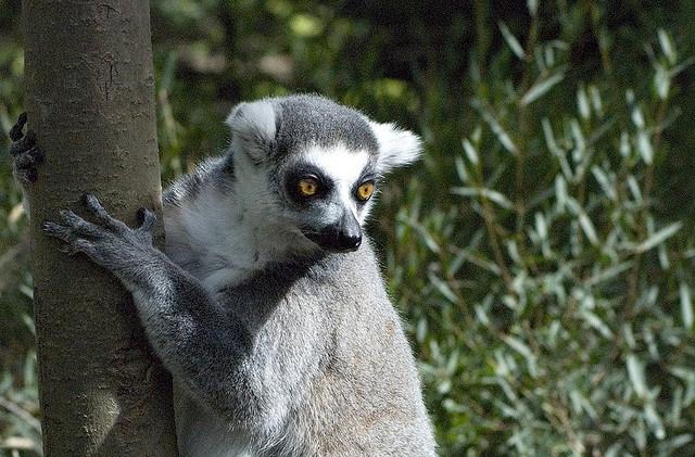 Perierga.gr - Λεμούριοι, ένα είδος προπίθηκου