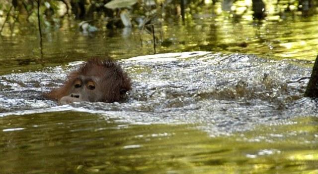 Perierga.gr - Ουραγκοτάγκοι επιδίδονται στο κολύμπι