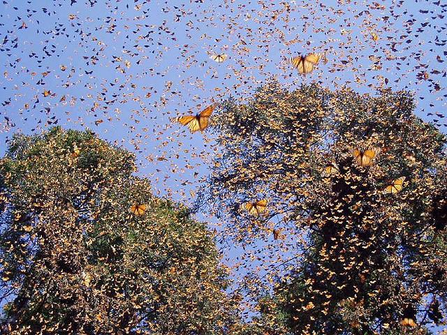 Η μετανάστευση της πεταλούδας
