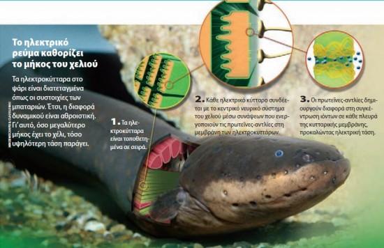 Perierga.gr - Γιατί μερικά ψάρια παράγουν ηλεκτρισμό;