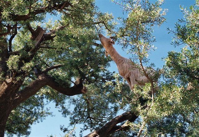 Perierga.gr - Κατσίκια πάνω σε δέντρα