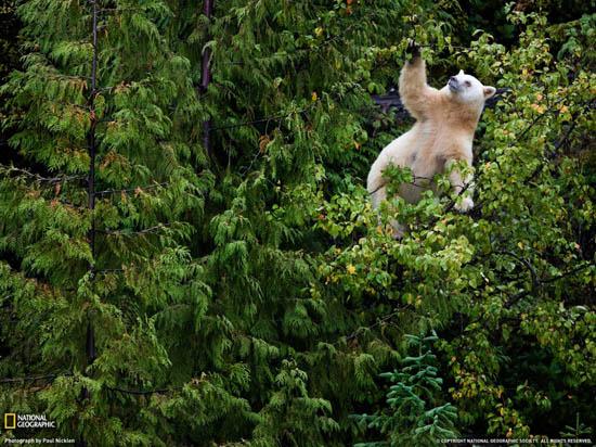 Paul Nicklen - Αρκούδα