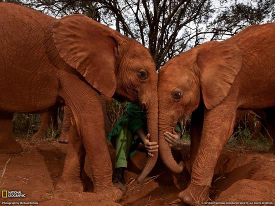 Michael Nichols - Ελέφαντες