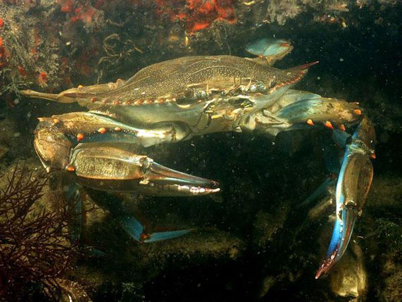 Perierga.gr - Πλημμύρισε μπλε καβούρια το Αιγαίο