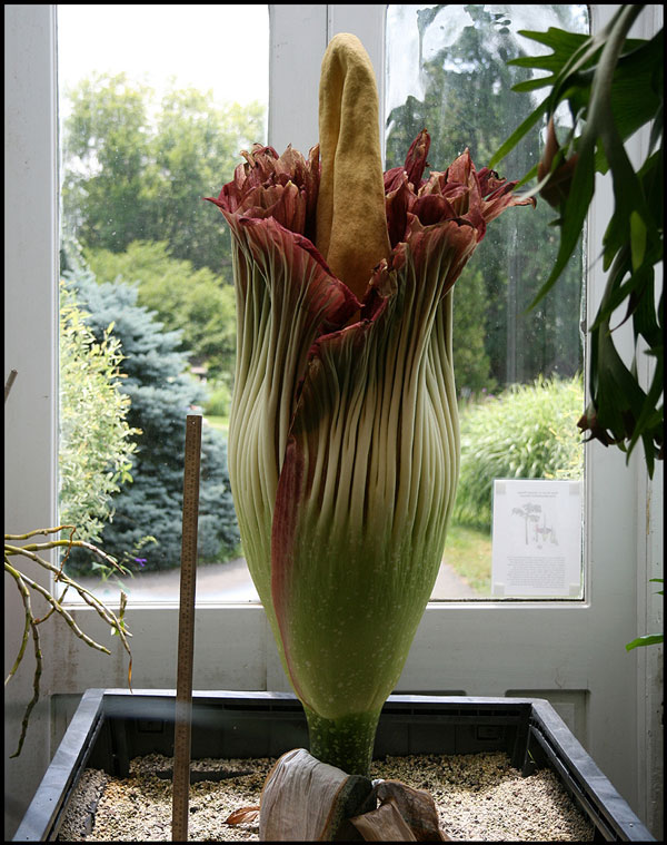 perierga.gr - Το ωραιότερο λουλούδι στον κόσμο ανθίζει σπάνια και... βρωμάει!!!