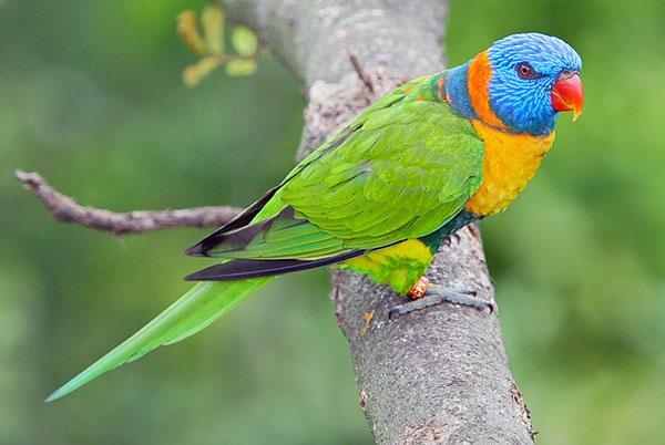 Perierga.gr - Παπαγάλοι που... μεθούν στην Αυστραλία!