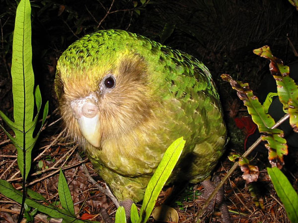 perierga.gr - Ένας παπαγάλος που δεν έμαθε ποτέ του να πετάει!