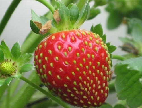 Perierga.gr - Το Internet ζυγίζει όσο μια... φράουλα
