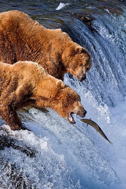 perierga.gr - Οι αρκούδες είναι οι καλύτεροι ψαράδες!