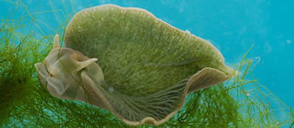 perierga.gr - Ένα θαλάσσιο ζώο... φωτοσυνθέτει!