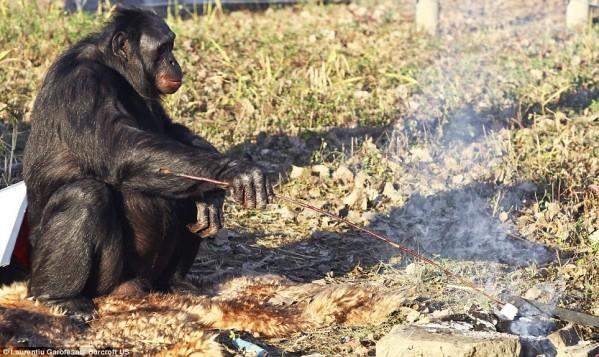 Χιμπατζής χειρίζεται τη φωτιά και μαγειρεύει!