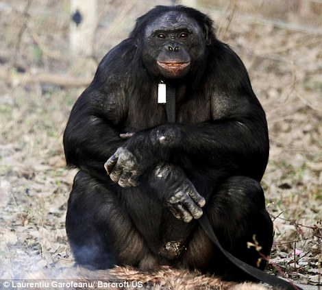 Perierga.gr- Χιμπατζής χειρίζεται τη φωτιά και μαγειρεύει!
