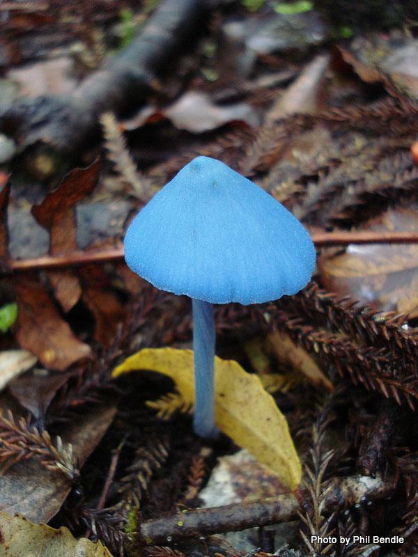"perierga.gr - Το σπάνιο μπλε ""μανιτάρι του ουρανού""!"