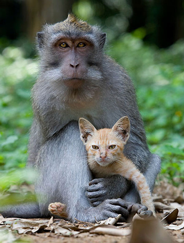 perierga.gr - Οι μαϊμούδες προτιμούν τις γάτες για... κατοικίδια!