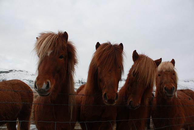 Perierga.gr - Άλογα στην παγωμένη Ισλανδία