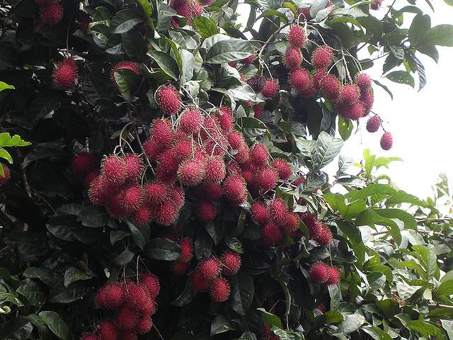 Perierga.gr - Rambutan