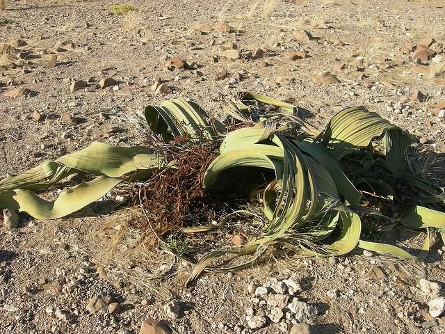 Perierga.gr - Welwitschia mirabilis