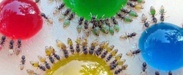 perierga.gr - Πολύχρωμα μυρμήγκια εν δράσει...