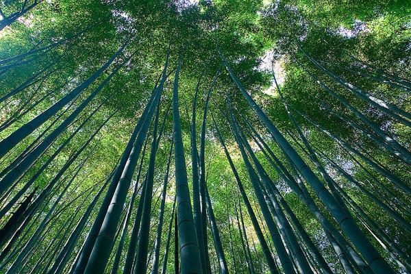 """perierga.gr - Το """"μουσικό"""" δάσος των μπαμπού!"""
