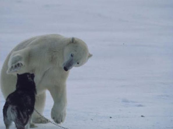 perierga.gr - Ένα χάσκι και μια πολική αρκούδα... φίλοι για πάντα!