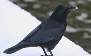 perierga.gr - Το κοράκι αυτό λατρεύει τα χειμερινά σπορ...