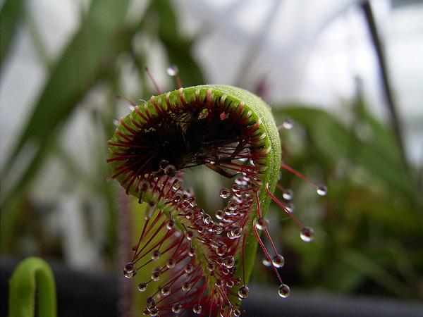 Του εν λόγω φυτού-αράχνη και την πλήρη
