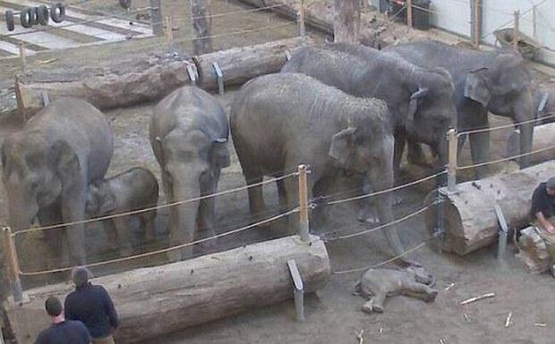 Perierga.gr - Θρήνος για τον θάνατο μωρού ελέφαντα